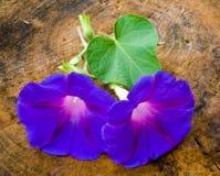 голубые цветки одичалые Стоковое фото RF