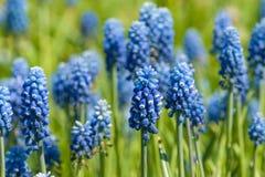 голубые цветки поля стоковые фото