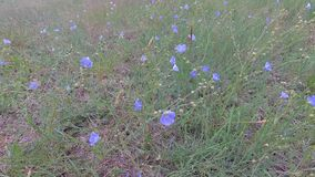 Голубые цветки степи пошатывая в ветре сток-видео