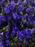 голубые цветки Стоковая Фотография