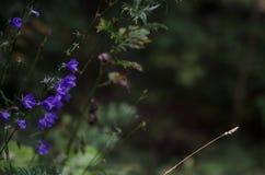 голубые цветки Стоковое Изображение RF