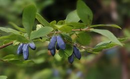 Голубые ягоды на ветви Стоковые Изображения