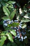 Голубые ягоды среди зеленых листьев падуб-виноградины Орегона Стоковые Изображения