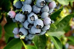 Голубые ягоды стоковое фото rf