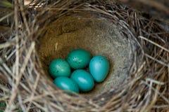Голубые яичка Стоковая Фотография