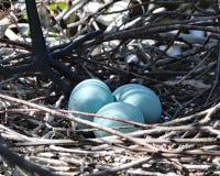 Голубые яичка Egret в гнезде Стоковое Изображение