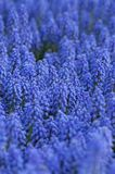 голубые яркие цветки Стоковая Фотография
