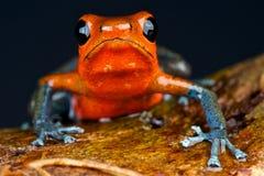 голубые джинсыы лягушки дротика Стоковое Изображение