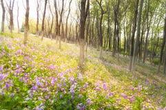 Голубые Bluebells в лесе Стоковое Изображение RF