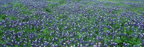 Голубые Bonnets в стране холма стоковое изображение