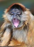 голубые chagres eyed спайдер парка Панамы обезьяны nat Стоковое фото RF