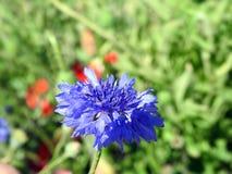 Голубые cornflowers в поле, Литве Стоковая Фотография