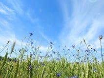 Голубые cornflowers в поле, Литве Стоковое фото RF