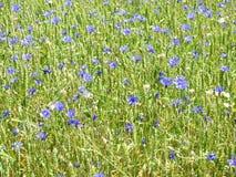 Голубые cornflowers в поле, Литве Стоковые Фото