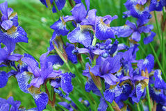 голубые gladioluses Иллюстрация вектора