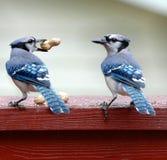 голубые jays Стоковые Изображения RF