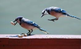 голубые jays Стоковые Фотографии RF