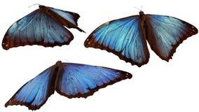 голубые morphos стоковые фото