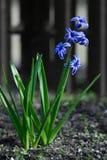 Голубые orientalis Hyacinthus цветут стоковое фото rf