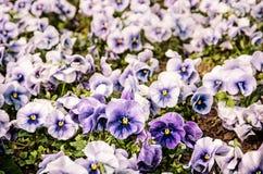 Голубые pansies, весеннее время, ретро фильтр Стоковое фото RF