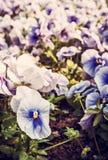 Голубые pansies, весеннее время, ретро фильтр Стоковое Фото