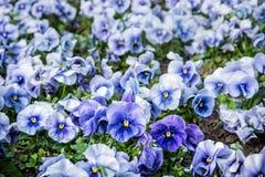 Голубые pansies, весеннее время Стоковые Изображения