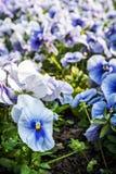 Голубые pansies, весеннее время Стоковое Фото