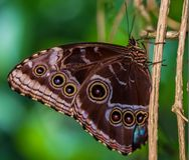 Голубые peledes Morpho бабочки Morpho Стоковая Фотография RF