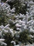 голубые pungens picea engelm colorado spruce стоковые изображения rf