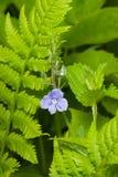 Голубые speedwell Germander цветка или chamaedrys Вероники на макросе стержня, селективном фокусе, отмелом DOF Стоковые Фото