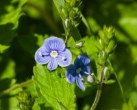 Голубые speedwell Germander цветка или chamaedrys Вероники на макросе стержня, селективном фокусе, отмелом DOF Стоковое Фото