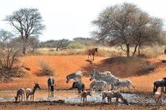 Голубые Wildebeest, зебра и Tsessebe Стоковые Изображения RF