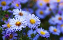 голубые wildflowers астры стоковая фотография
