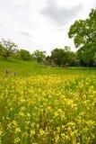 голубые wildflowers яичек dicks масла Стоковая Фотография
