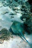 голубым жало запятнанное лучем Стоковая Фотография