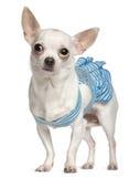 голубым носить striped чихуахуа Стоковое Изображение RF