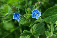 2 голубых маленьких цветка Зацветая заводы Стоковое Фото