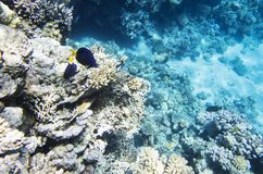 2 голубых рыбы среди кораллов Стоковое фото RF