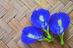 3 голубых цветка лозы бабочки закрывают вверх Стоковое Изображение