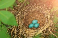 3 голубых яичка в гнезде в крупном плане природы Стоковое Фото