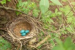 3 голубых яичка в гнезде Стоковые Фотографии RF