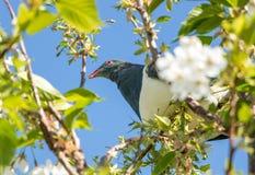 Голубь, Веллингтон, NZ Стоковая Фотография
