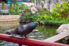 Голубь в парке города Стоковое Фото