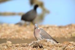 Голубь в природе Стоковые Фотографии RF