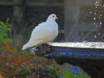 Голубь в фонтане имея ванну птицы Стоковая Фотография RF