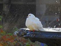 Голубь в фонтане имея ванну птицы Стоковые Фотографии RF