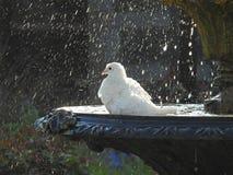 Голубь в фонтане имея ванну птицы Стоковые Изображения
