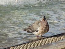 Голубь в фонтане Стоковое Изображение RF