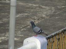 Голубь голубя голубя или утеса или утеса или птица Columba Livia в Индии Стоковое Фото