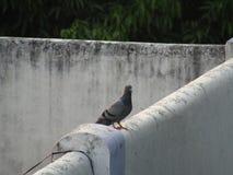 Голубь голубя голубя или утеса или утеса или птица Columba Livia в Индии Стоковая Фотография RF